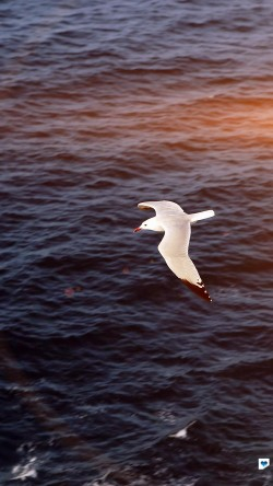 papers.co-mt16-seagull-bird-sea-ocean-animal-nature-flare-33-iphone6-wallpaper