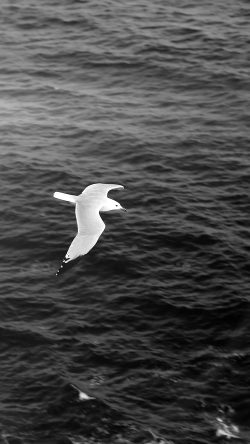 papers.co-mt17-seagull-bird-sea-ocean-animal-nature-dark-33-iphone6-wallpaper