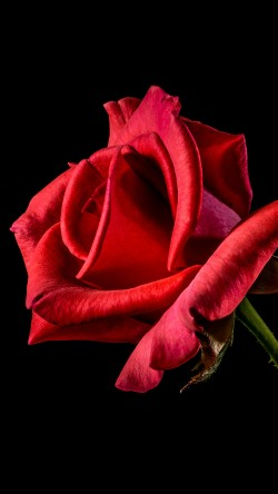 papers.co-mt51-flower-rose-red-dark-beautiful-best-nature-33-iphone6-wallpaper