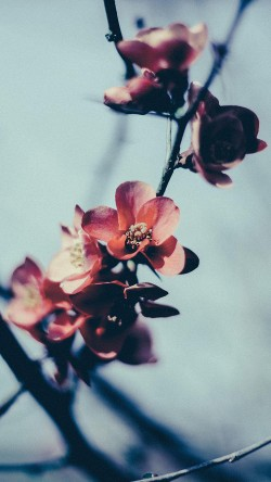 papers.co-mu10-flower-nostalgia-tree-spring-blossom-nature-33-iphone6-wallpaper