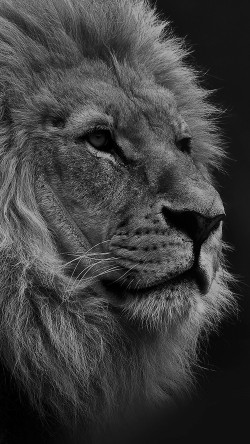 papers.co-mu48-national-geographic-nature-animal-lion-dark-bw-33-iphone6-wallpaper