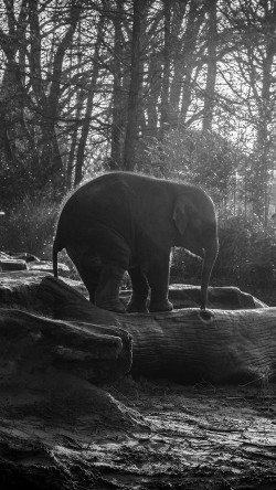 papers.co-mw67-elephant-dark-bw-animal-cute-nature-baby-33-iphone6-wallpaper