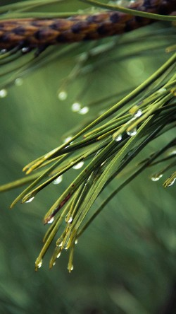 papers.co-mx05-rain-pine-tree-green-nature-mountain-33-iphone6-wallpaper