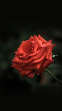 papers.co-my30-rose-flower-red-love-nature-33-iphone6-wallpaper