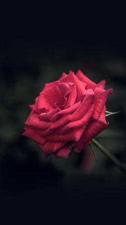 papers.co-my31-rose-flower-red-love-nature-blue-33-iphone6-wallpaper
