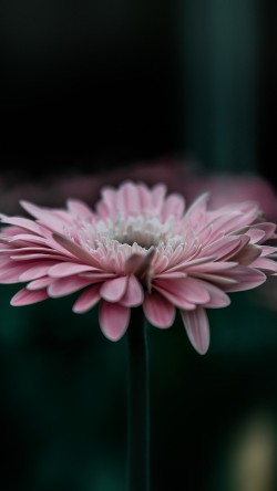 papers.co-my62-flower-pink-calm-nature-bokeh-33-iphone6-wallpaper