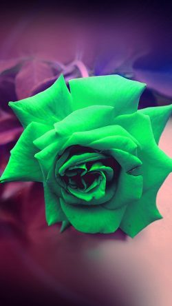 papers.co-my90-green-rose-nature-flower-wood-love-valentine-flare-33-iphone6-wallpaper