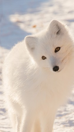 papers.co-mz77-winter-animal-fox-white-33-iphone6-wallpaper