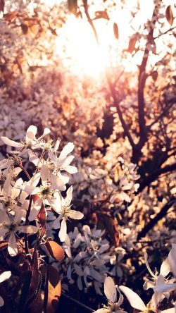 papers.co-na29-tree-flower-blossom-spring-nature-33-iphone6-wallpaper