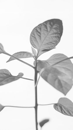 papers.co-na33-flower-leaf-simple-minimal-nature-bw-33-iphone6-wallpaper