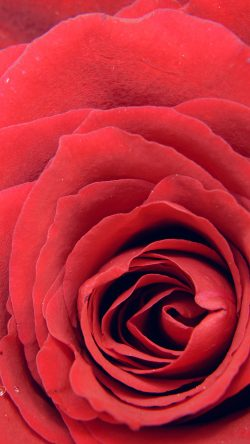 papers.co-nb73-rose-red-flower-nature-love-33-iphone6-wallpaper