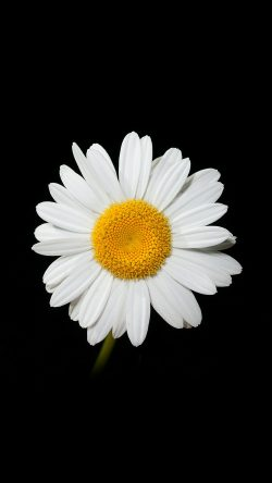 papers.co-nc79-daisy-flower-dark-nature-33-iphone6-wallpaper