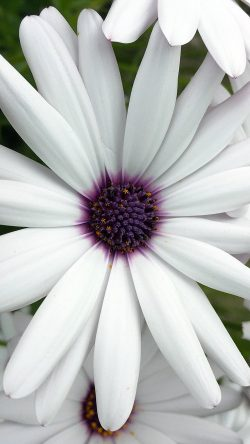 papers.co-ne81-flower-purple-white-spring-nature-33-iphone6-wallpaper
