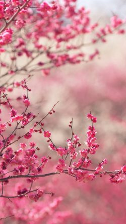 papers.co-nf14-pink-blossom-nature-flower-spring-33-iphone6-wallpaper