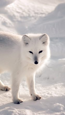 papers.co-nf27-white-artic-fox-snow-winter-animal-33-iphone6-wallpaper