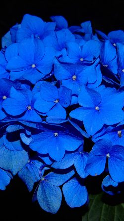 papers.co-ng38-hydrangea-blossom-flower-blue-dark-nature-33-iphone6-wallpaper