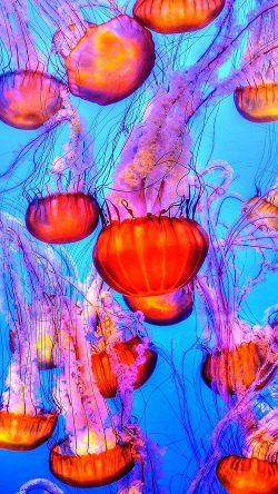 papers.co-nh64-jellyfish-water-ocean-red-blue-33-iphone6-wallpaper