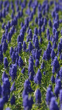 papers.co-ni29-muscari-field-flower-summer-nature-33-iphone6-wallpaper