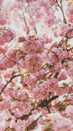 papers.co-ni91-spring-flower-pink-blossom-bokeh-nature-33-iphone6-wallpaper