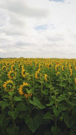 papers.co-nj28-sunflower-field-nature-flower-green-33-iphone6-wallpaper